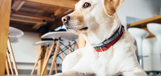 Чип для животногото же, что персональный код для человека. Ошейник с адресом могут украсть, а только по описанию собаку (скажем, белая овчарка с черными лапками) трудно идентифицировать. Бывает, животное крадут, и владельцу не просто доказать свои права на него. Сканируя же содержащуюся на чипе информацию, можно узнать, кто владелец и где собака живет. Так что если животное потерялось, с ним случилось несчастье, то хозяин об этом быстро узнает. Это полезно и в случае с бродячими животными: нет чипа – нет и хозяина.